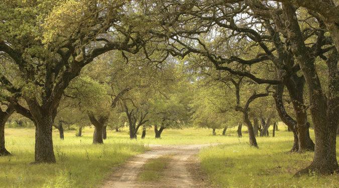 Belvedere's Oak Trees